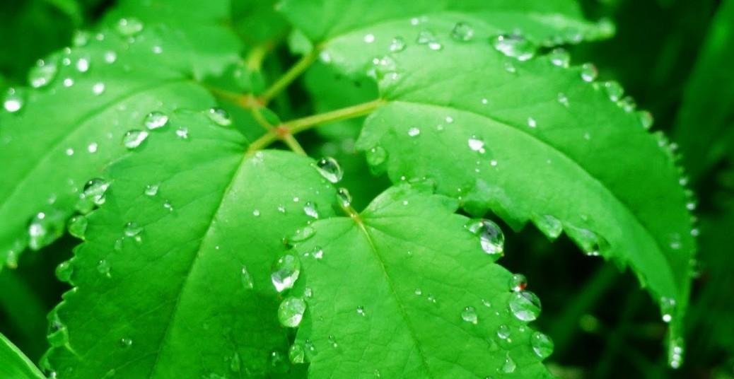 Folha verde e gotas de água