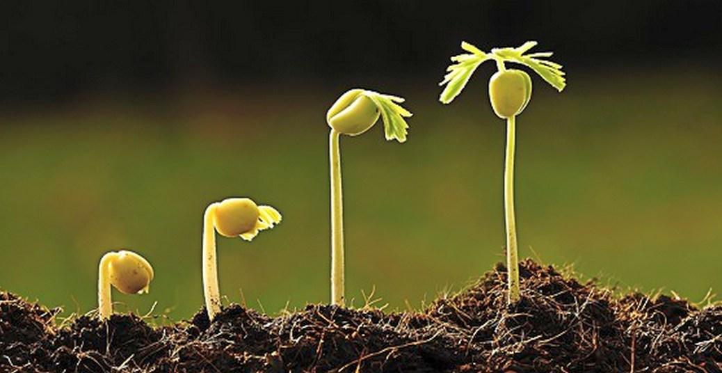 Semente germinando