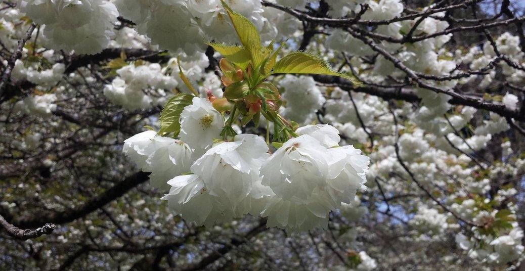 Cerejeira do Canadá