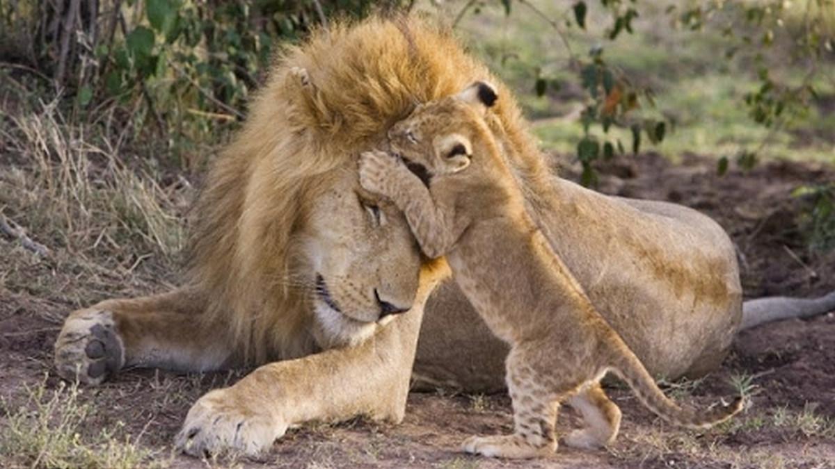 Pai Leão e filhote