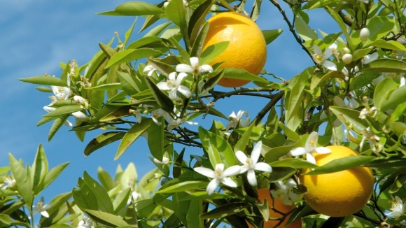 Laranjeira com flores e frutos