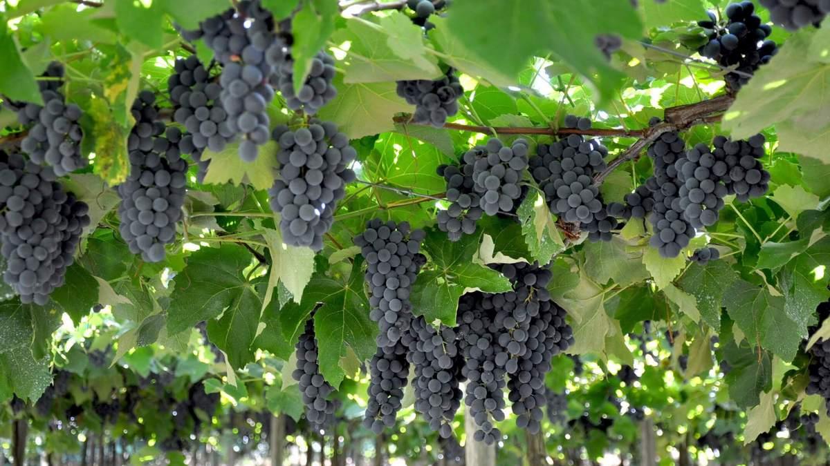 Poderemos colher uvas nos espinheiros?